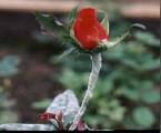 padlí na růžích