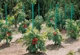 Zahradní plastová tyč k rajčatům